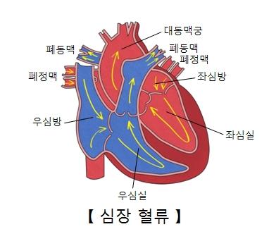 대동맥궁 폐동맥 폐정맥 좌심방 좌심실 우심실 우심방 폐정맥 폐동맥의 위치및 심장혈류의 예시