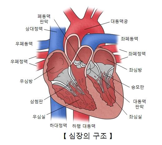 대동맥궁 좌폐동맥 좌폐정맥 좌심방 승모판 대동맥판막 좌심실 하행대동맥 하대정맥 우심실 심청판 우심방 우폐정맥 우폐동맥 상대정맥 폐동맥판막의 위치및 심장의 구조 예시