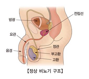 전립선 정관 부고환 고환 방광 요관 음경 등 정상적인 비뇨기 구조의 예시