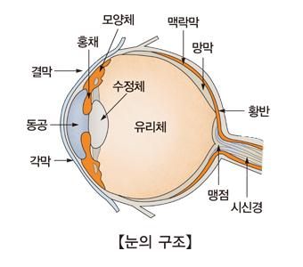 눈의구조 모양체,홍채,결막,동공,각막,맥락막,망막,황반,맹점,시신경,수정체,유리체의 위치