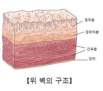 점막층 점막하층 근육층 장막의 위치및 위 벽의 구조예시
