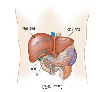 간의우엽 간의좌엽 담낭 담도의 나타낸 간의 구조 예시
