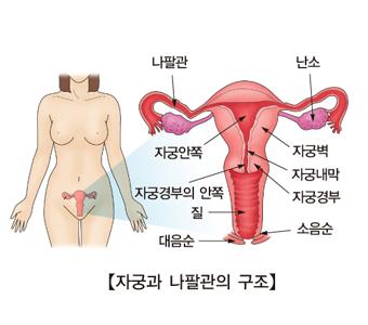 나팔관 난소 자중안쪽 자궁벽 자궁경부의 안쪽 자궁내막 질 자궁경부 대음순 소음순등 자궁과 나팔관의 구조 예시
