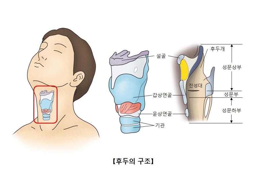 후두의 구조 설골,갑상연골,윤상연골,기관,후두개,진성대,성문상부,성문부,성문하부 위치