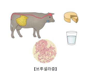 브루셀라균에 감염된 소와 그 소가 만들어낸 우유와치즈 및 브루셀라균의사진
