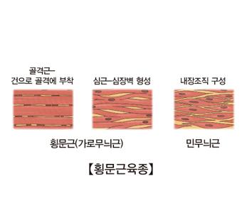횡문근(가로무늬군) 골격근-건으로 골격에부착, 심근-심장벽에형성 사진예시및  민무늬근 내장조직구성 사진예시