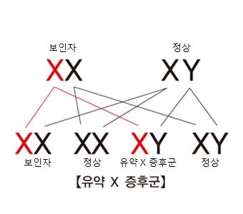 유약X증후군- 보인자와 정상인 XY 염색체 교합 그림 예시