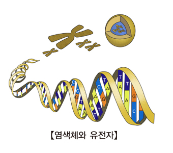 염색체와 유전자 그림 예시