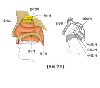 코의구조및 후세포,경구개,목구멍,후신경,상비갑개, 전두통,하비갑개,중비갑개,상비갑개,접형골동의 위치