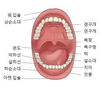 경구개 연구개 목젖 목구멍 혀 설소대 치아 잇몸 아랫입술 하순소대 설하선 악하선 편도 상순소대 윗입술의 위치를 기재한 입안구조의 예시
