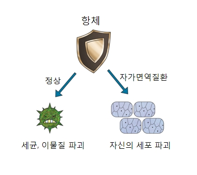 정상적인 항체는 세균,이물질 파괴 자가면혁질환 항체는 자신의 세포 파괴