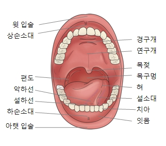 구강구조및 잇입술,상순소대,편도,악하선,설하선,하순소대,아랫입술,잇몸,치아,설소대,혀,목구멍,목젖,연구개,경구개의 위치