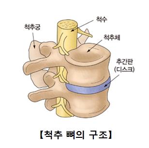 척추뼈의구조 척추궁,척추,척추제,추간판(디스크)의 위치