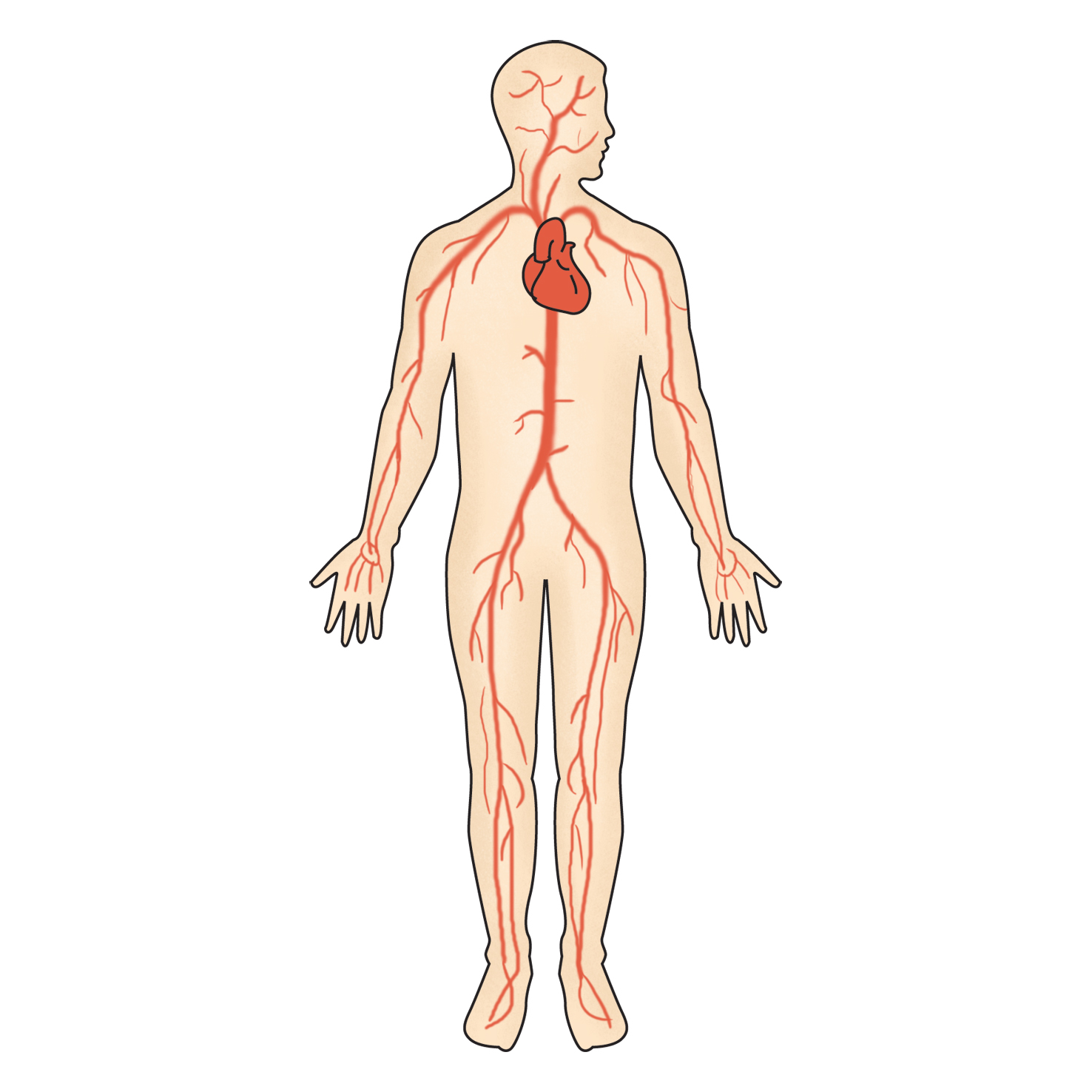 몸의 혈관 동맥과 정맥