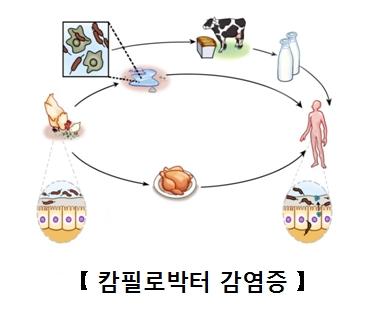 캄필로박터균에오염된물을닭이나소가먹은뒤 그 닭이나소를 인간이먹어 감염되는과정