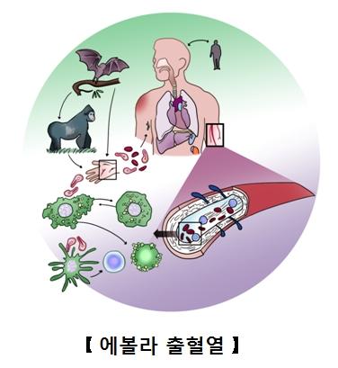 에볼라바이러스에걸리게되는과정과 걸린후 혈관의모습