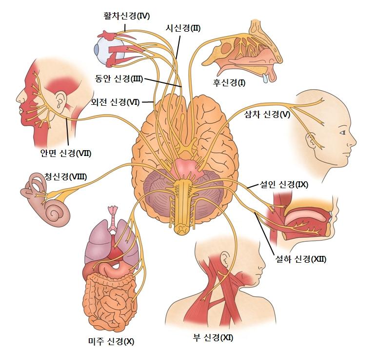 뇌에서시작되는12쌍의신경-시신경,활차신경,동안신경,외전신경,안면신경,청신경,미주신경,부신경,설하신경,설인신경,삼차신경,후신경